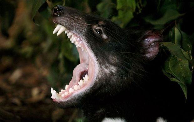 Afbeeldingsresultaat voor tasmaanse duivel