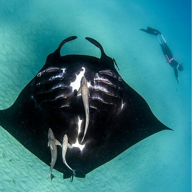 @australiascoralcoast Look at this beauty! You can swim with manta rays all year round at Coral Bay on Western Australia's Coral Coast. Many tours depart daily from Coral Bay and between June and November from Exmouth. Unlike stingrays, manta rays don't have a sharp barb, making them very safe to swim, snorkel or dive with. Now... who's ready say hi to the mantas!?