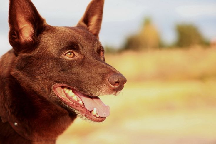 The famous Red Dog. Australian Kelpie working dog. Smarter than most of us!