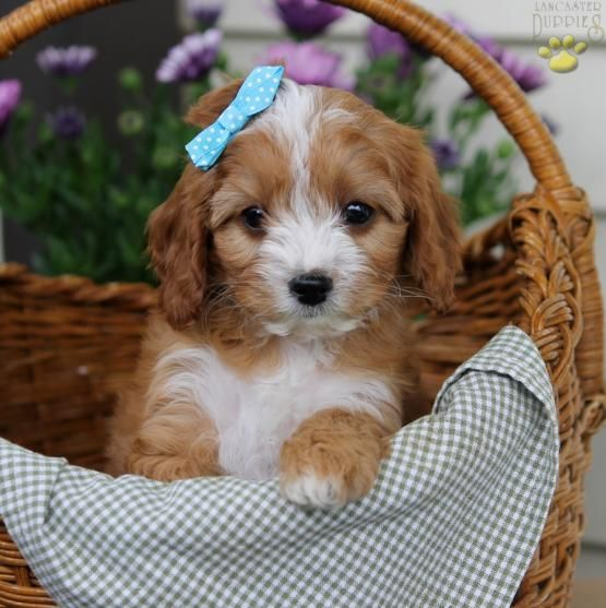 Fluffy - Cavapoo Puppy for Sale in Narvon, PA | Lancaster Puppies
