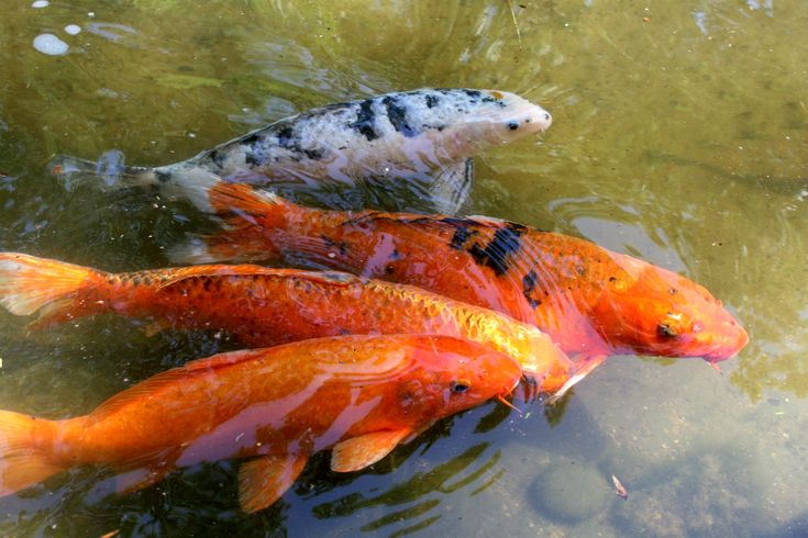 1000 images about koi on pinterest japanese koi long for Baby japanese koi fish for sale