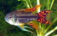 ... about Dwarf Cichlids on Pinterest Google, Cichlids and Tropical fish