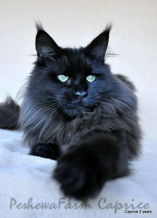 Maine Coon cats <3
