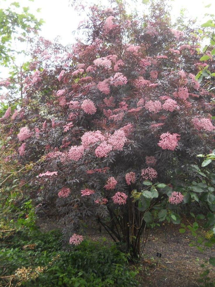 black lace elderberry   of the elderberry sambucus nigra black ...