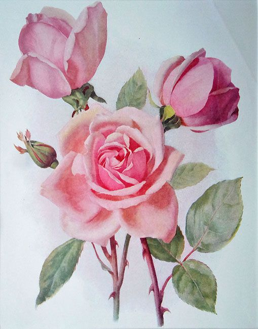 "rose prints for framing | Antique floral prints - 'Hybrid Tea Rose ""Lady Faire"" '"