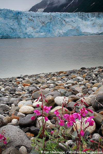 Pictures of Tidewater Glacier, Chugach National Forest -Chugach, Chugach Sugpiaq or Chugachigmiut is the name of an Alaska Native culture and group of people in the region of the Kenai Peninsula and Prince William Sound. Wikipedia