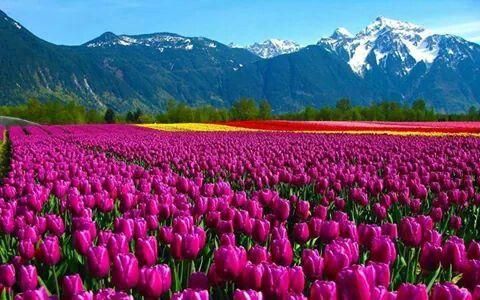 Tulipani - Olanda
