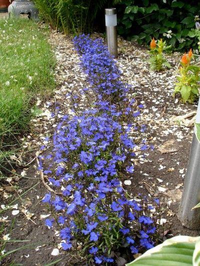 how to grow great blue lobelia
