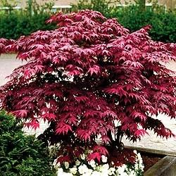 Japanese Maple 'Red Emperor' (5-6' plant) 'Red Emperor' Japanese Maple; Hardy, deciduous, low-branching tree to 10-15' high. Good for accent, Oriental plantings, patio, border background and containers. Maintains color throughout summer and is a deep wine-red in autumn. Leaf and habits similar to Bloodgood, but slightly faster growing and wider branching.