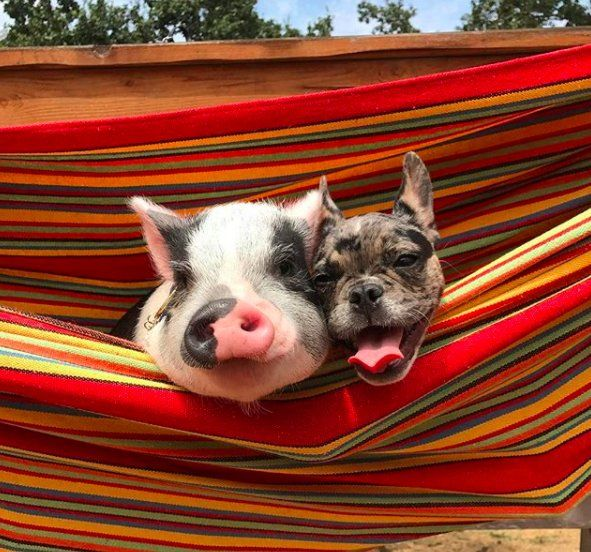 Rescue Pig Really Loved French Bulldogs So His Parents Got Him