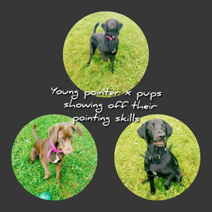 They are German short-haired pointer x weimaraner x border collie x labrador x irish setter. All of these, apart from the border collie, are hunting dogs which have tendency to point when hunting. The pups naturally begin pointing at around two months, sometimes earlier.