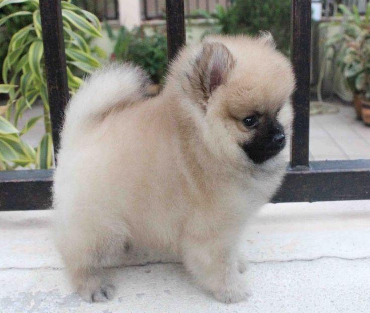 Miniature Pomeranian cutie pie