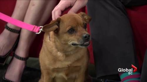 Watch Adopt a pet: Breezy the pug cross Video Online, on GlobalNews.ca