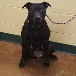 1/2018*****Pictures of Posey a Pit Bull Terrier for adoption in Independence, MO who needs a loving home.