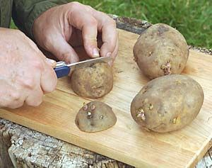 Cut into 1-in. cubes that each have an eye. Smaller pieces of potato encourages plant to grow roots quickly. Let the pieces air dry for 24 hours. You can dust with sulfur powder to prevent fungi from attacking them. Shake pieces in a bag with a small amount of the powder until evenly coated. They are fine without sulfur if the soil they are planted in is dry and warm.