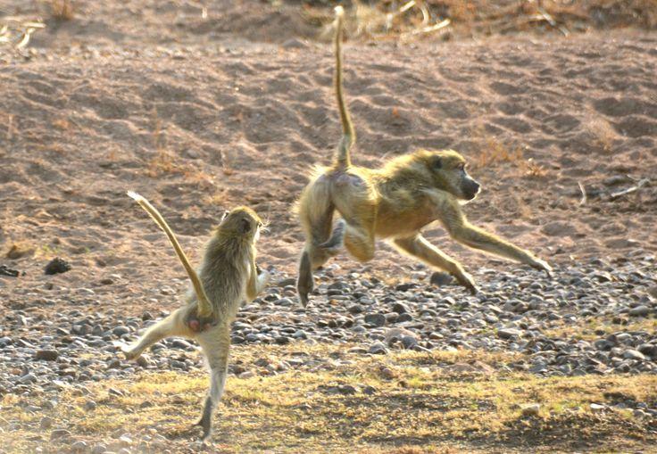 Yellow baboons playfighting in Ruaha, Tanzania. #YellowBaboon #GulBavian #RuahaNationalPark #TrekkingBureauet #HenryRasmussen