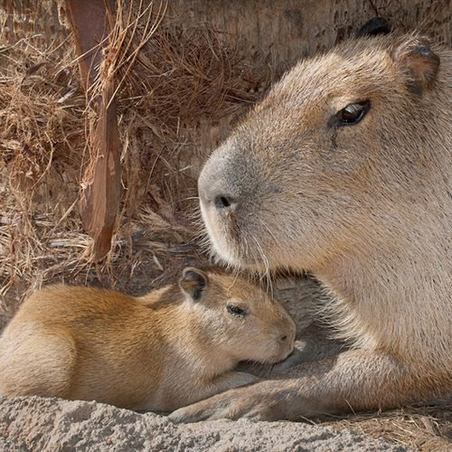 World's largest rodent?  Yes please!