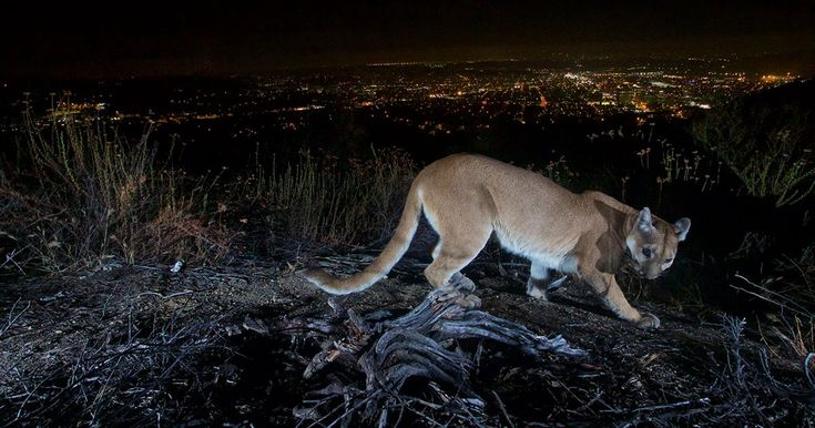 A National Park remote camera has captured a picture-perfect shot of a mountain lion at night with the city lights of Los Angeles as the backdrop. The phot