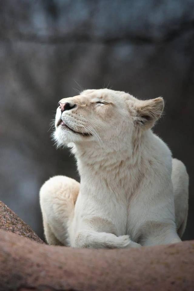 Beautiful Lioness | Cats | Animals, Cats, Animals beautiful