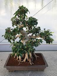 ficus microcarpa ginseng bonsai - Hledat Googlem