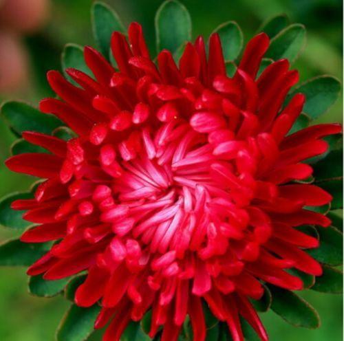 Flower-Seeds-Aster-Karmelita-Callistephus-chinensis-Flowers