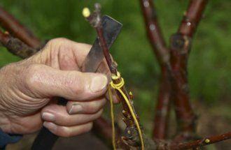 Как правильно привить яблоню – советы новичкам