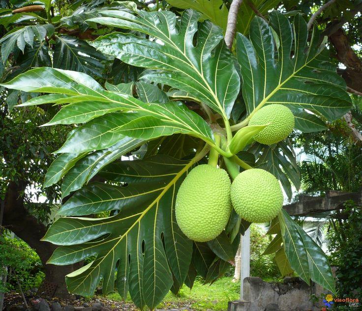 Fruit à pain, fruit assez volumineux. Artocarpus altilis/nom créole : Arbre à pain. Doit son nom à sa forte teneur en amidon et sa texture farineuse. Origine : Polynésie. Nombreuses recettes (Migan, Gratin de fruit à pain, etc.).