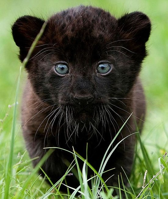 So cute! Black Panther cub
