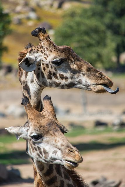 I loved visiting the giraffes at the San Diego Zoo Safari Park!
