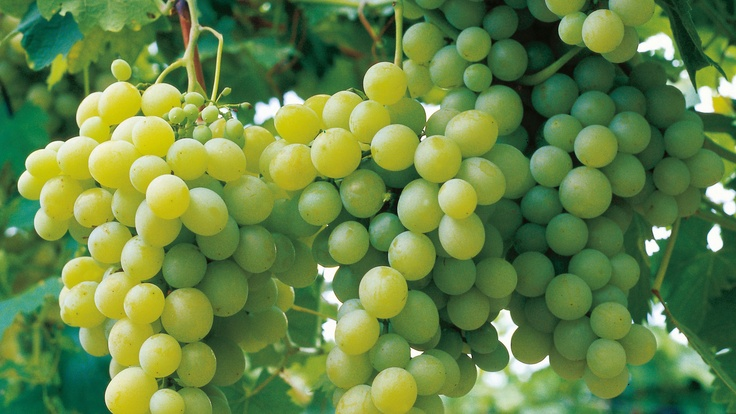 Grapes on the vine, Stanthorpe, QLD. © Tourism Queensland