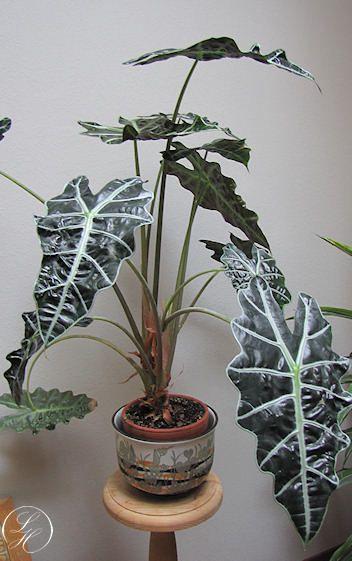 Alocasia × amazonica - Elefantøre