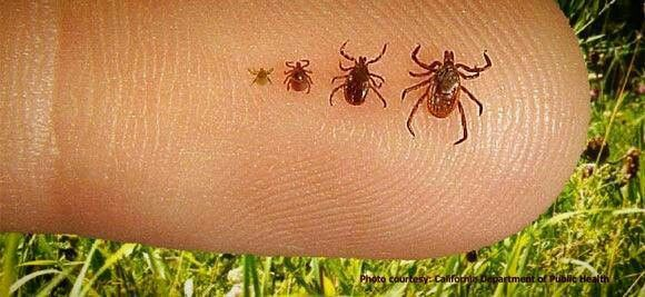 Tick repellent for you & your pet: add 1 cup of water to a spray bottle, and 2 cups of distilled white vinegar. Ticks hate the smell & taste of vinegar. Then, add 2 spoonfuls of vegetable or almond oil (both contain sulfur, another natural tick repellent).  After mixing the solution, spray clothing, skin, & hair before going outdoors. Reapply every 4 hours to keep ticks at bay. Examine your skin & hair once inside to make sure there's no ticks. Vinegar smell will dissipate in a short time.