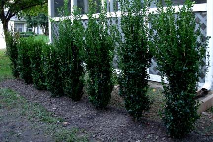 'Green tower' Boxwood - narrow (2 ft wide) evergreen privacy hedge, up to 9 ft tall