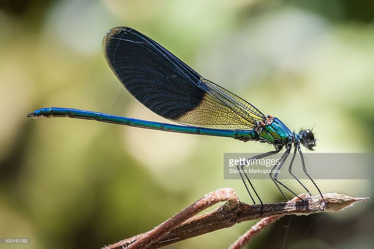 Stock Photo : Banded Demoiselle on twig