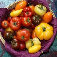 Expérience sur le bicarbonate de soude contre le mildiou de la tomate