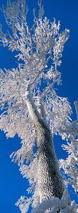 Frost covered tree looming into a blue sky