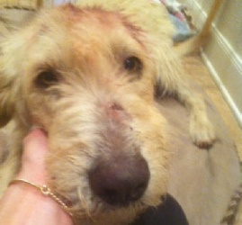 Rufus is an adoptable Irish Wolfhound Dog in San Antonio, TX. Rufus is a big dog. He will weigh over 100 pounds when he is fully developed and given the food this gentle giant deserves. He is calm and...