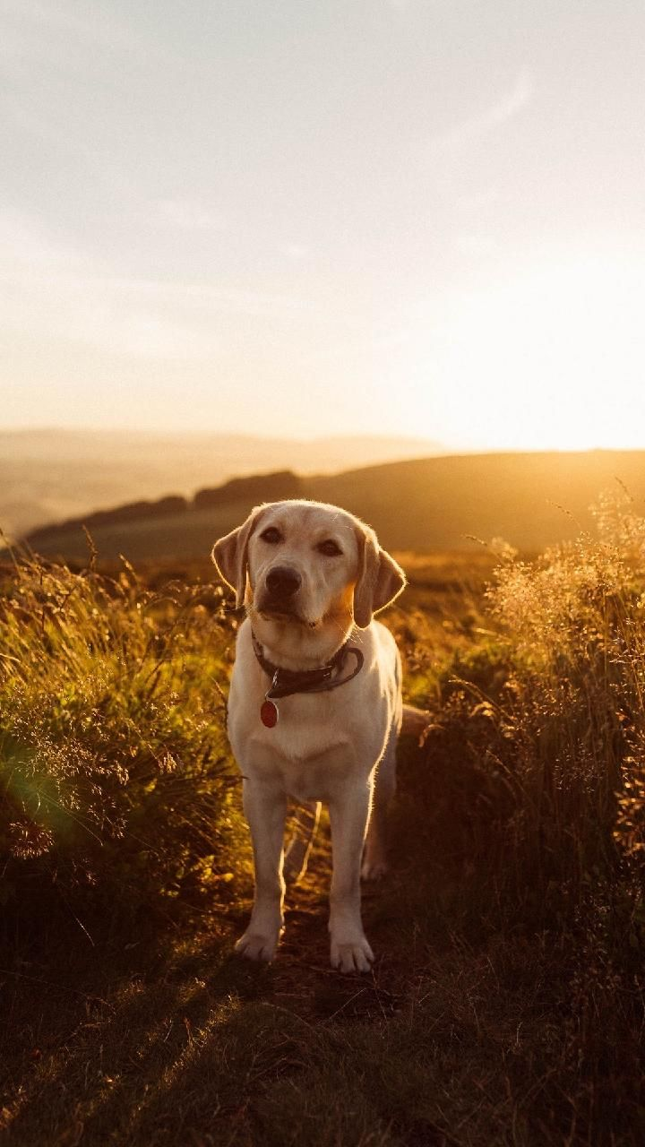 Download Labrador Wallpaper By Djicio 52 Free On Zedge Now