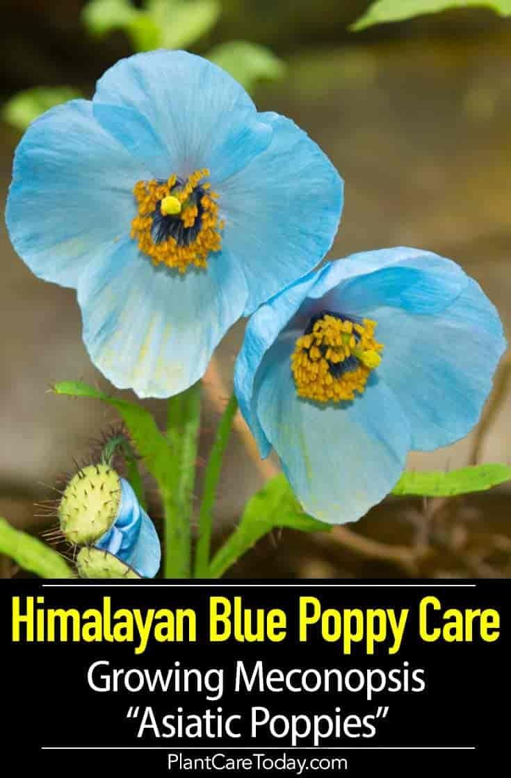 Himalayan Blue Poppy Care Growing Meconopsis Asiatic Poppies