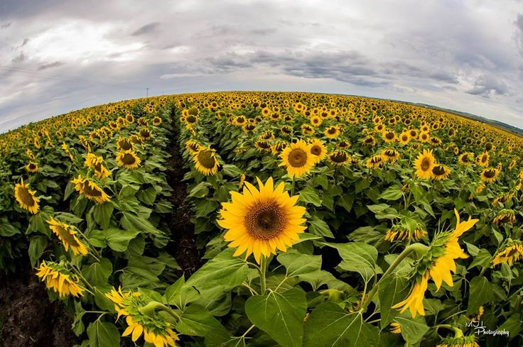 Field of Sunflowers, Allora, QLD
