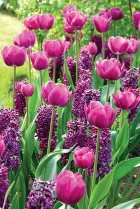Purple tulips and hyacinths!
