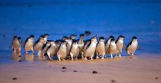 Penguin Foundation...Phillip's Island, Australia...Adopt a penguin and help save this little guys,