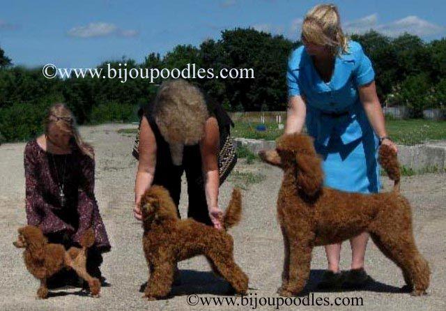 Toy poodle, Mini poodle  Standard poodle. ( got a toy black poodle - smart puppy!!)