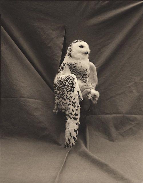 Victor Schrager, Snowy Owl, 2001