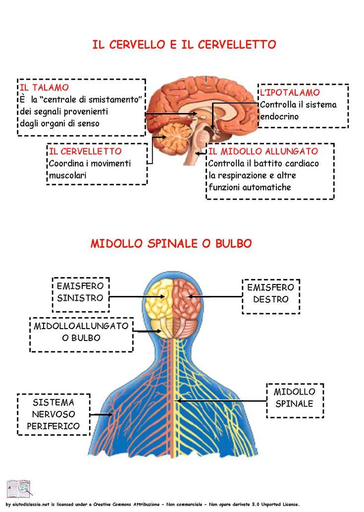 Sistema Nervoso Sc. Media | AiutoDislessia.net