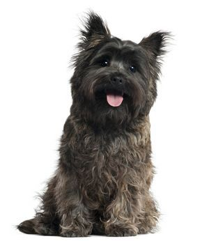 Cairn terriers are a very wash and wear kind of dog with little maintenance.  They have a wirey, harsh feeling coat that is weather resistant.  It is a double coat with the outer layer being the harsh feeling layer.  The undercoat is softer and denser and is much shorter in length.    Read more: http://www.dogcentral.info/cairn-terrier/#ixzz2M3Hii4Kh