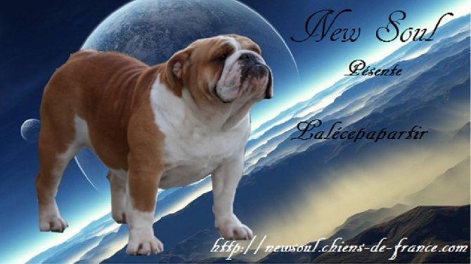 Accueil - Elevage NEW SOUL- eleveur de chiens Bulldog