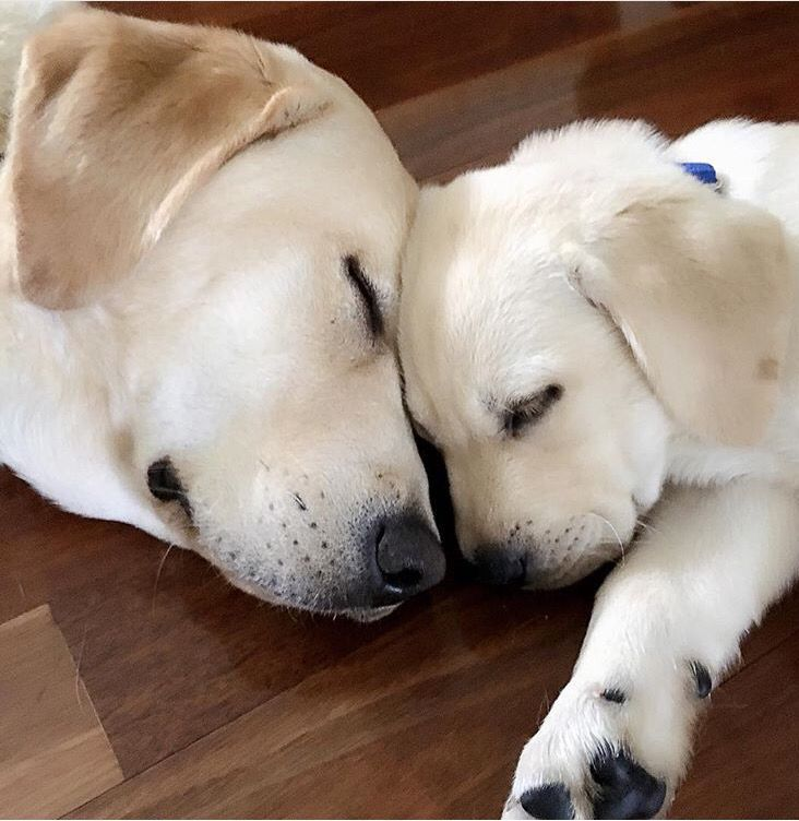 Big brother, little brother. http://yellow-lab-retriever-gifts-toys.myshopify.com/products/copy-of-large-rubber-dog-chew-toy?variant=11444174209