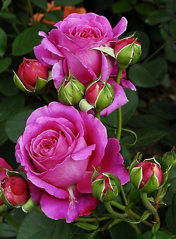 Beautiful Roses ..♥