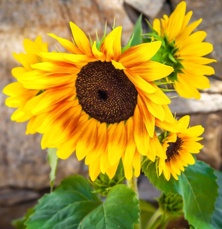 Sunflower by Eleni Mac Synodinos on 500px